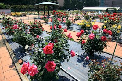 日本大学生物資源科学部(博物館、付属バラ園、桜並木)