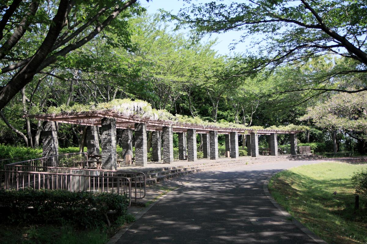 大庭城址公園のフジ