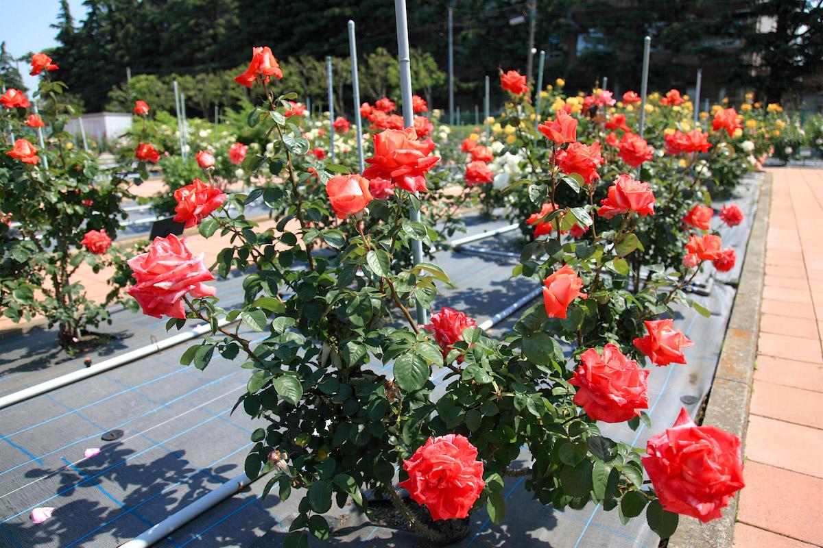 日本大学生物資源学部 (博物館、付属バラ園、桜並木)