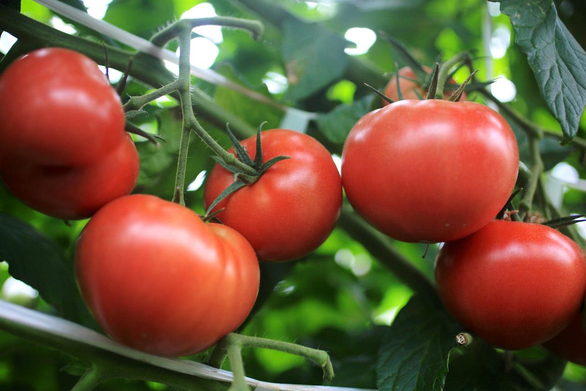 井出トマト農園