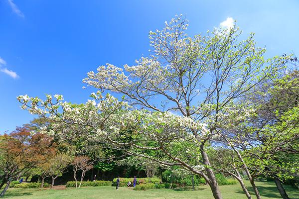 大庭城址公園のハナミズキ