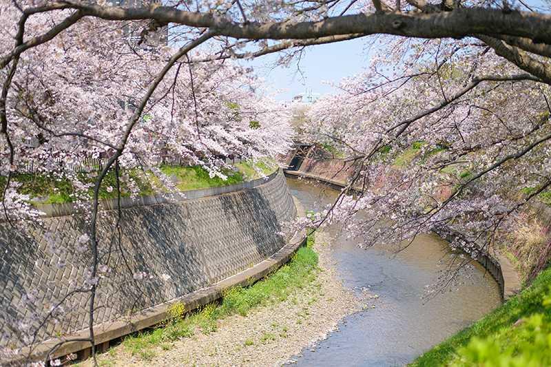 円行公園のサクラ