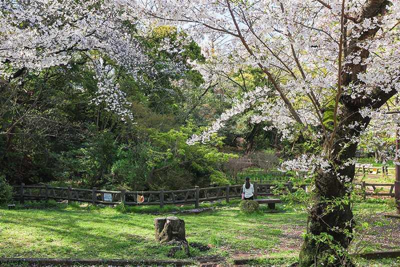 御幣公園のサクラ