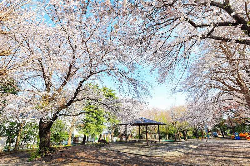 柄沢公園のサクラ
