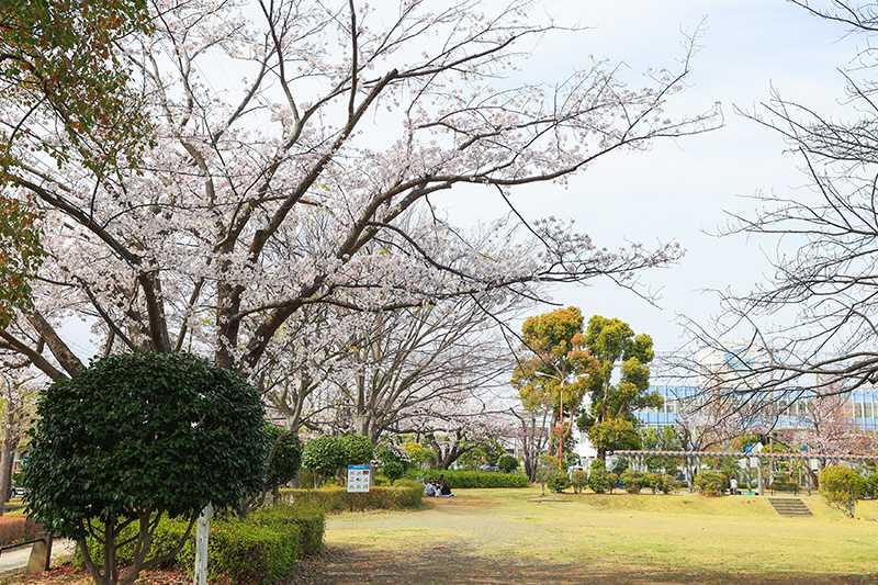 桐原公園のサクラ