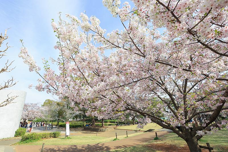 湘南台公園のサクラ