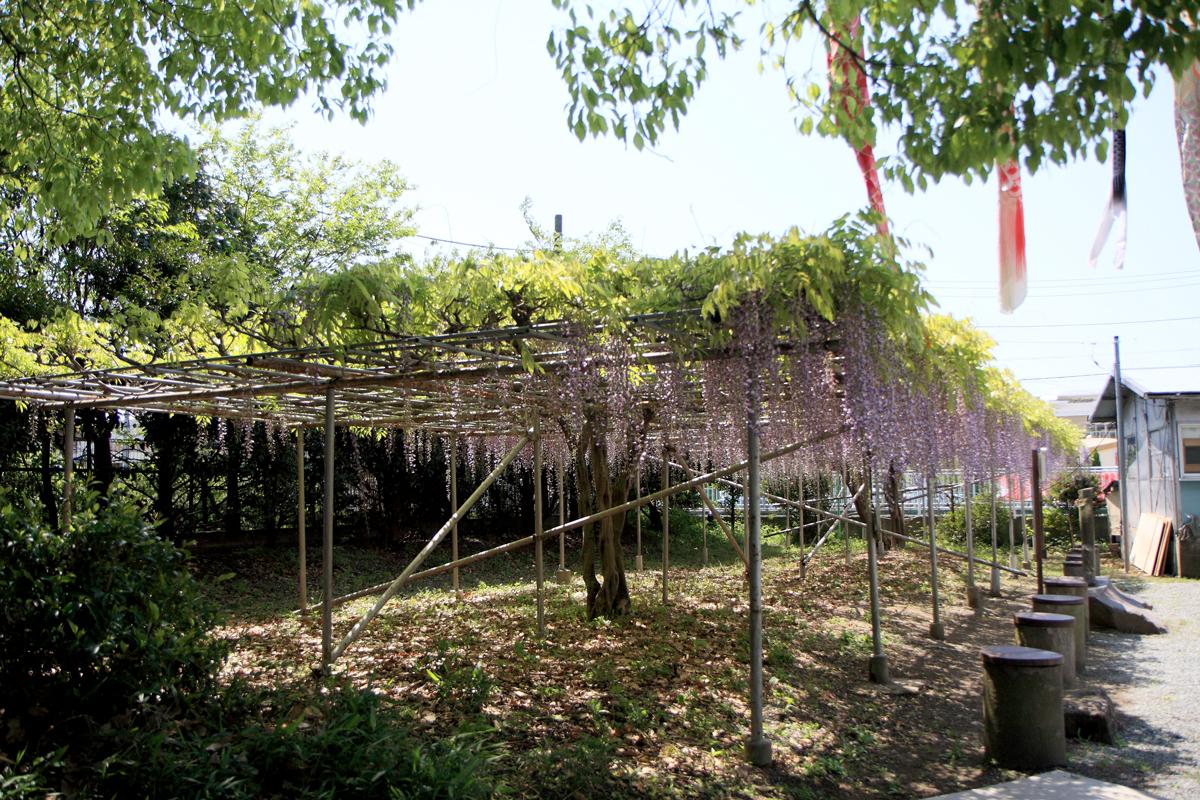 白旗神社のフジ